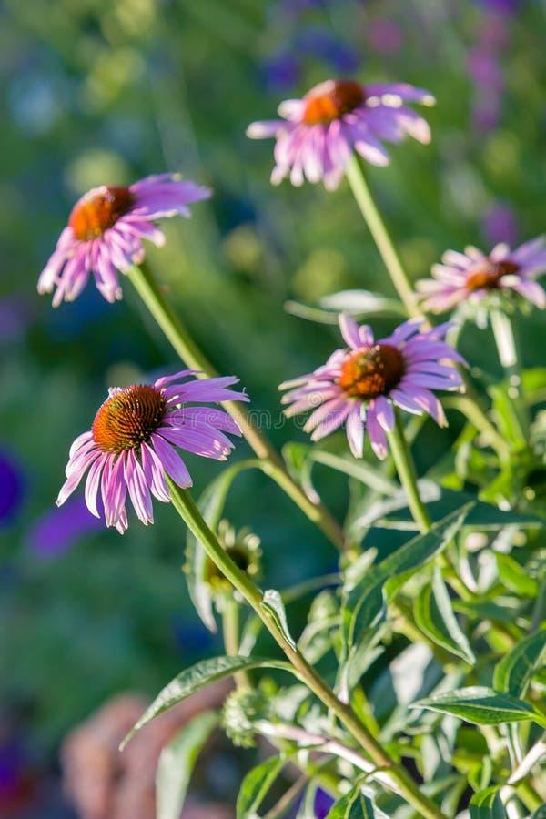 Diversas flores da família da camomila com um centro marrom foto de stock royalty free