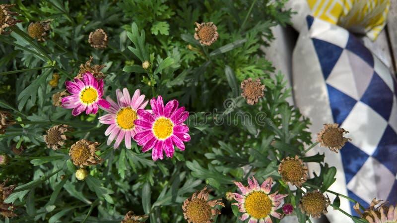 Diversas flores selvagens roxas do crisântemo foto de stock