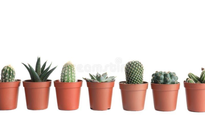 Diversas plantas suculentas en los potes aislados en blanco imagen de archivo