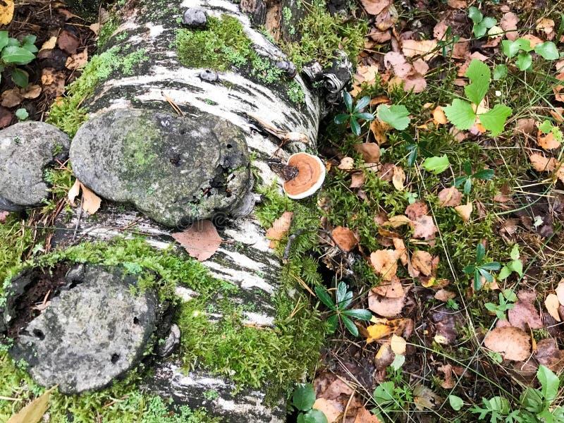 Diversas setas deliciosas arboladas en el tronco de árbol de un registro cubierto con el musgo y la hierba verdes naturales con l imagen de archivo libre de regalías