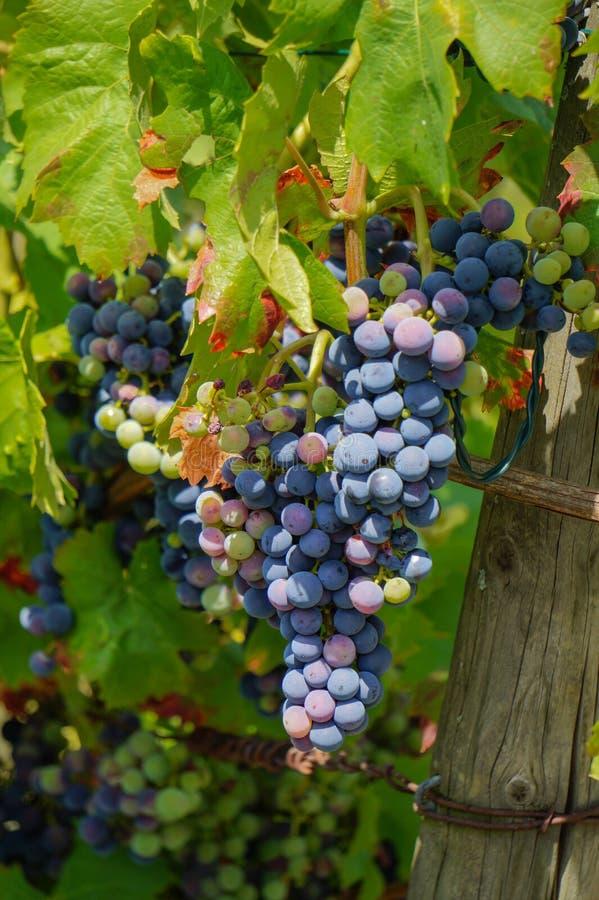 Diversas vinhas maduras na vinha fotos de stock