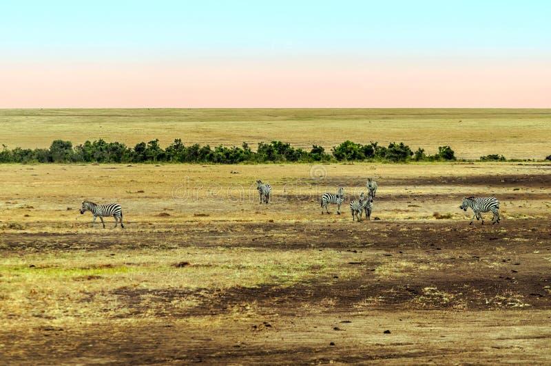 Diversas zebras foto de stock royalty free