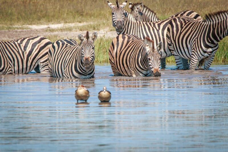 Diversas zebras que bebem no Chobe fotos de stock royalty free