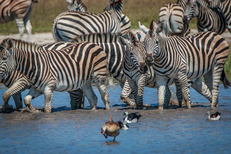 Diversas zebras que estão na água imagem de stock
