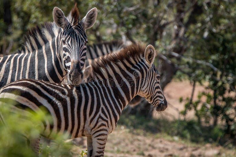 Diversas zebras que jogam na estrada fotografia de stock royalty free