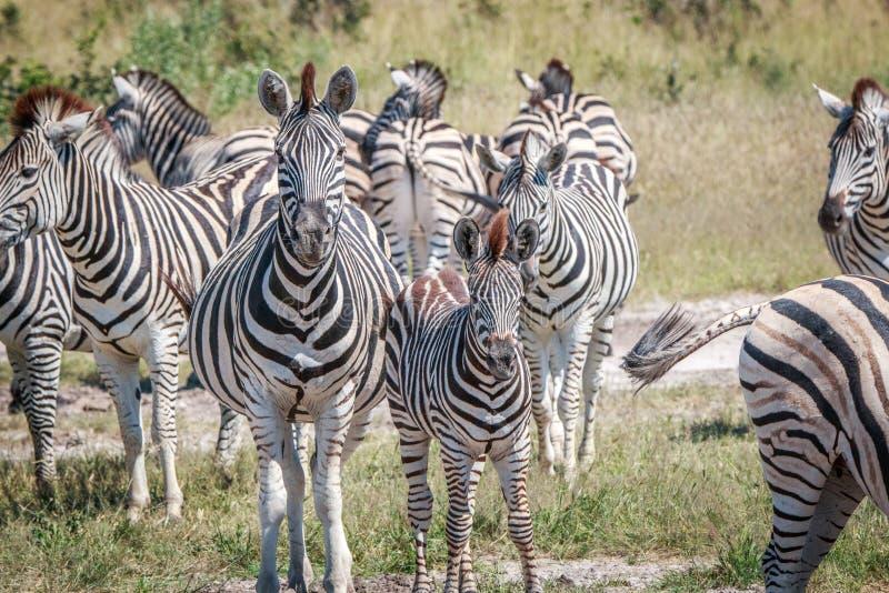 Diversas zebras que ligam-se na grama imagem de stock