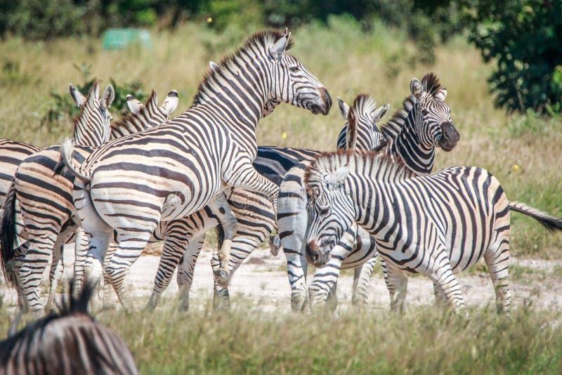 Diversas zebras que ligam-se na grama fotografia de stock royalty free