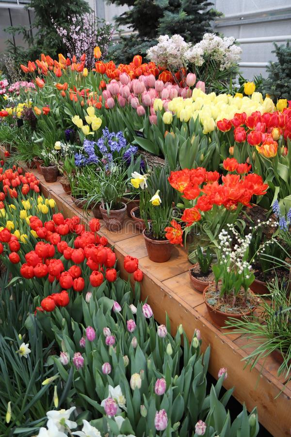 A diverse collection of tulips.Different shapes and colors of flowers stock photo