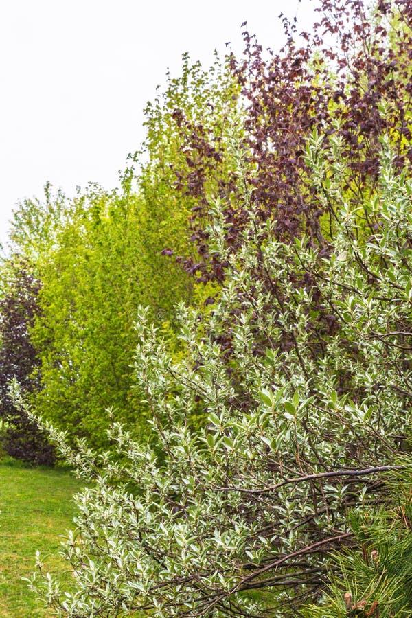 Diverse decoratieve bomen en struiken - in de voorgrond Russische olijf stock afbeeldingen
