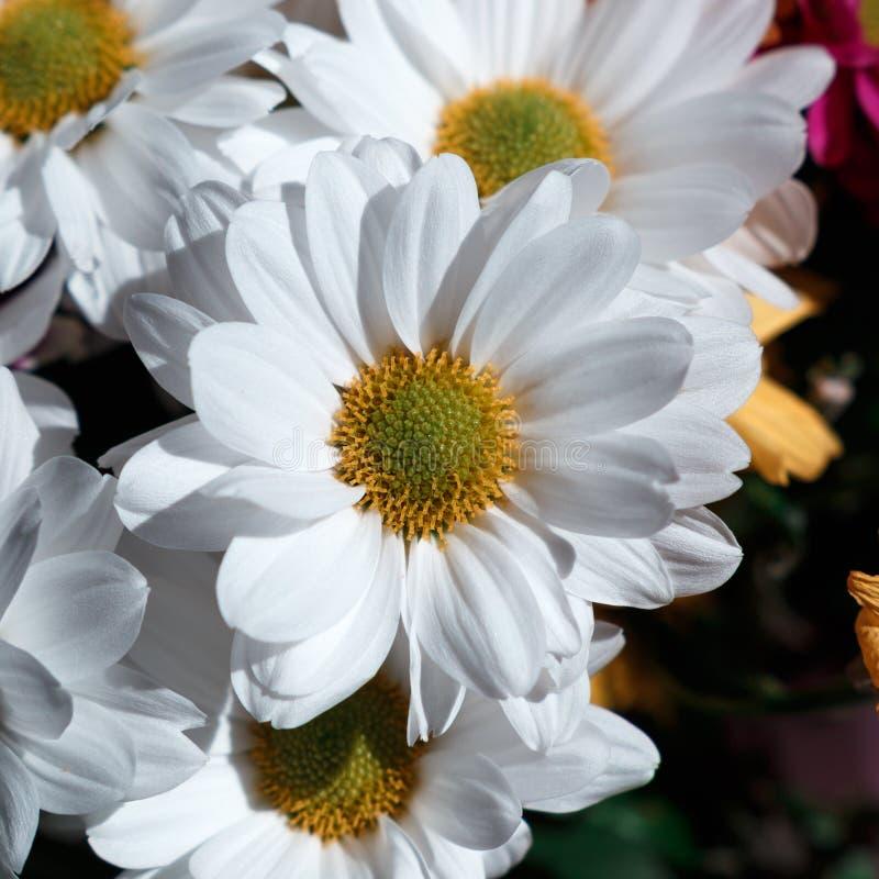 Diverse hrysanthemums bloemen Ñ  op zwarte backgroun stock foto
