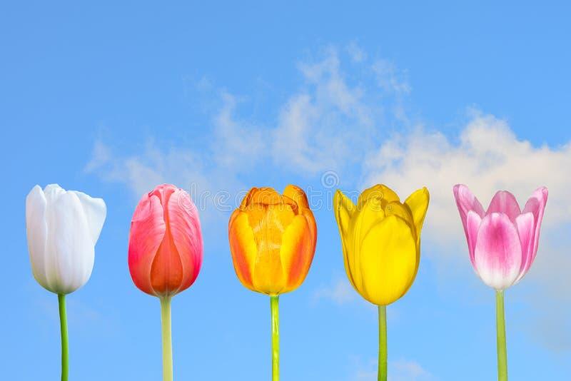Diverse Kleurrijke tulpen bloeien op het gebied met witte Wolk en blauwe hemel royalty-vrije stock foto's