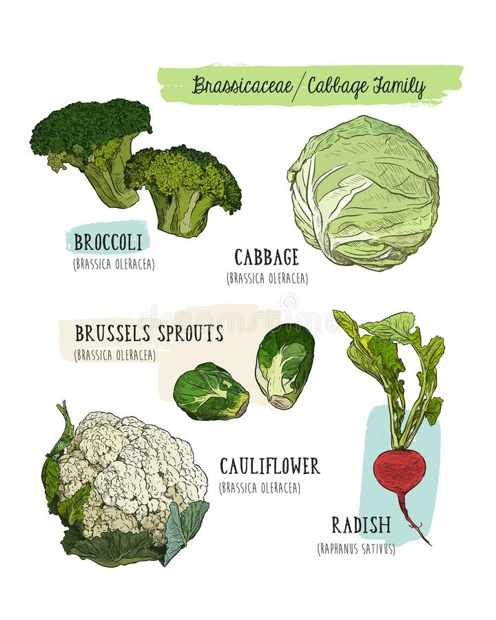 Diverse koolreeks kool, broccoli, Spruitjes, cauli stock illustratie