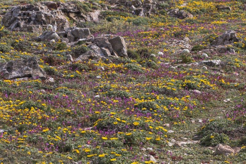 Diverse spring flora of Sagres royalty free stock photo