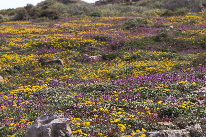 Diverse spring flora of Sagres stock photos