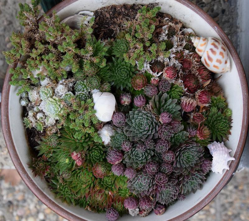 Diverse succulents in flowerpot, little flowers as decoration. Diverse succulents in flowerpot, little flowers and a few seashells as garden decoration royalty free stock images