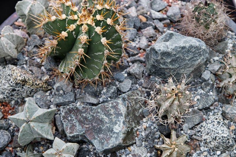 Diverses usines vertes de cactus Petits cactus décoratifs de différents types décorés des pierres image libre de droits
