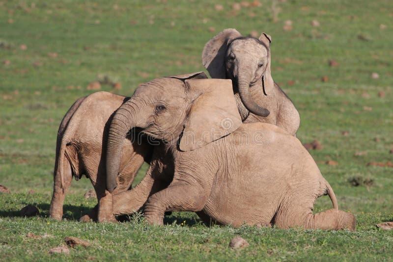 Diversión del elefante africano del bebé foto de archivo