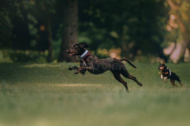 Diversión del perro de caza y del pinscher miniatura que salta para un paseo fotografía de archivo libre de regalías