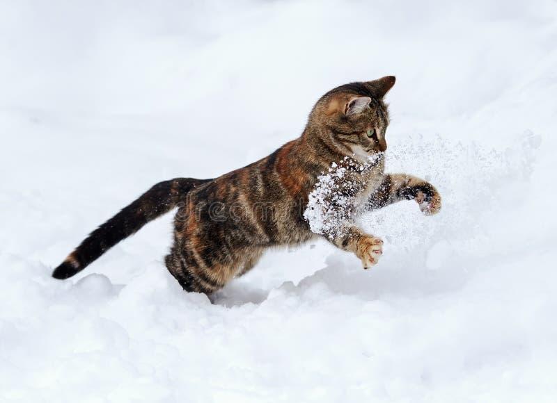 Diversión divertida manchada agraciada del gato a cazar en la nieve blanca en el invierno g imagen de archivo libre de regalías