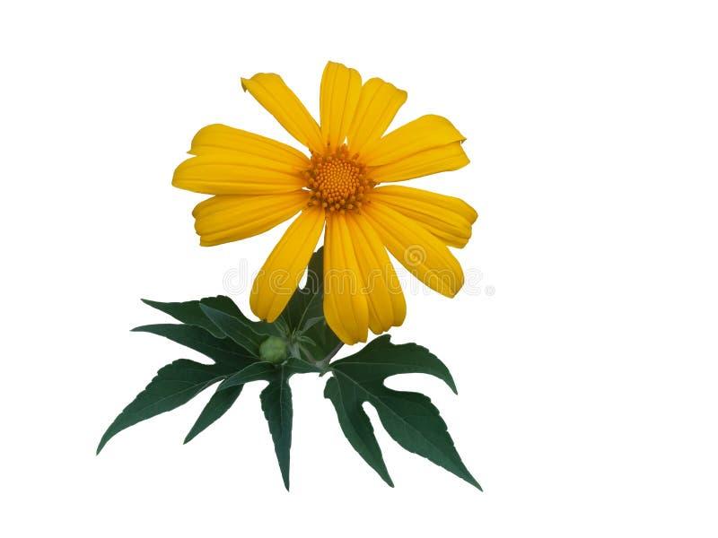 Diversifolia мексиканского солнцецвета или tithonia с лист изолированными на предпосылке whit стоковые изображения rf