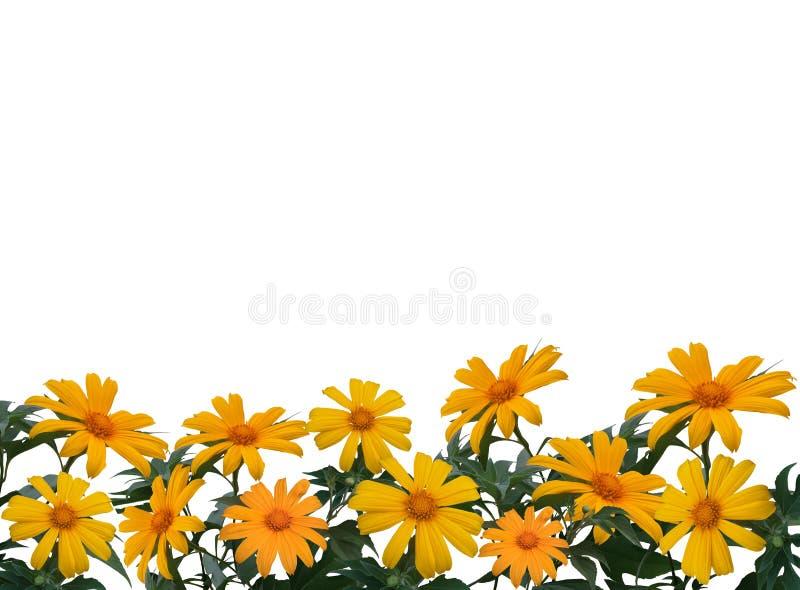 Diversifolia мексиканского солнцецвета или tithonia с лист изолированными на предпосылке whit стоковое изображение