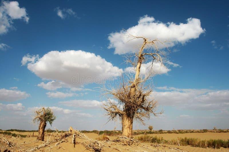 diversifolia nieżywy populus zdjęcie royalty free