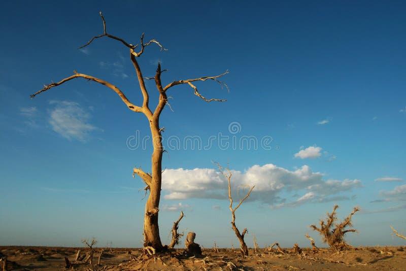 diversifolia nieżywy populus zdjęcie stock