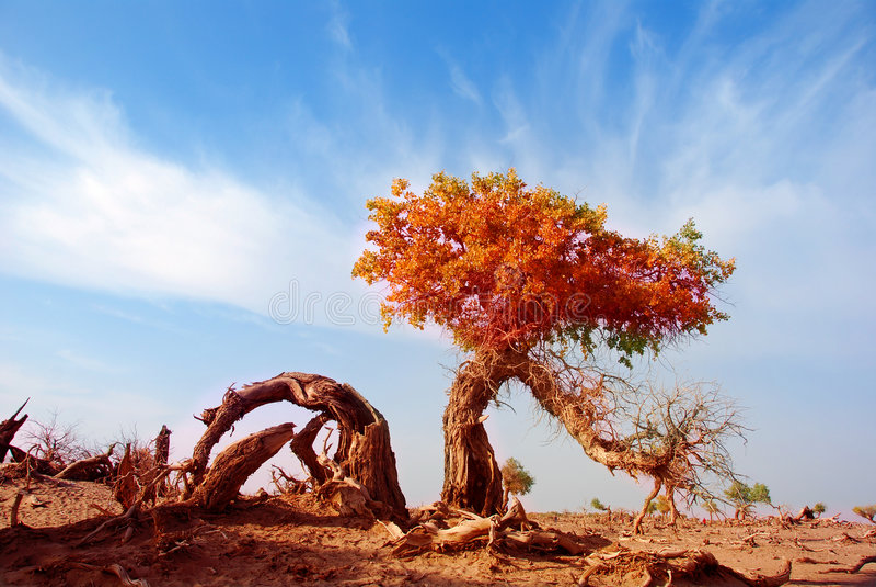 Diversifoliaboom van Populus stock afbeeldingen