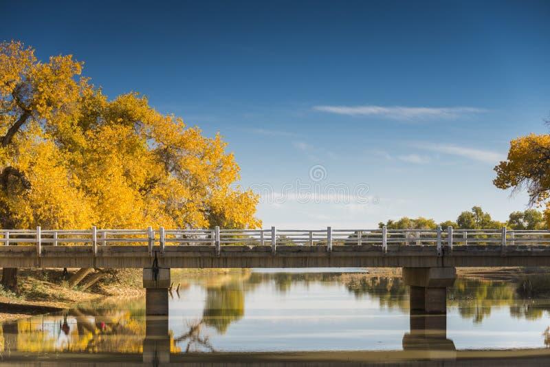 Diversifolious Pappelbäume stockfotos
