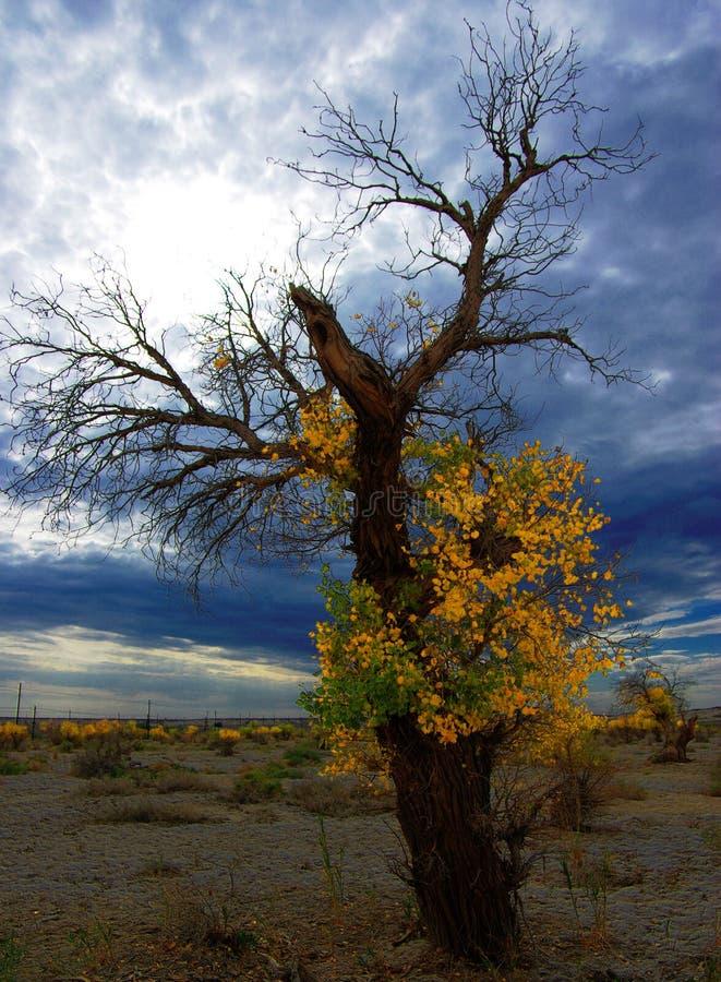 diversifolious poplar arkivfoto