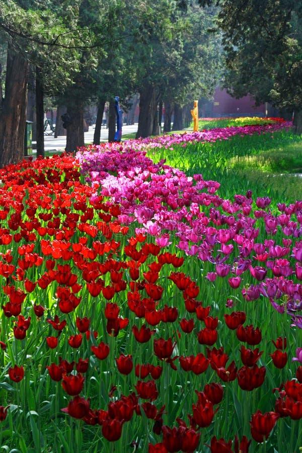 Diversità dei tulipani