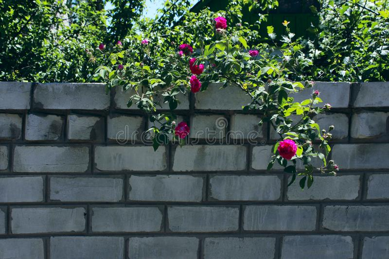 White Brick Wall And Red Roses. Abstract Nature Background. stock images