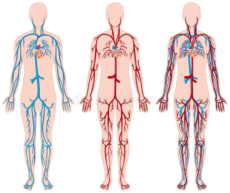 Diverso diagrama de los vasos sanguíneos en ser humano ilustración del vector
