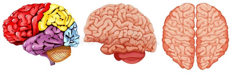 Diverso Diagrama Del Cerebro Humano Ilustración del Vector ...