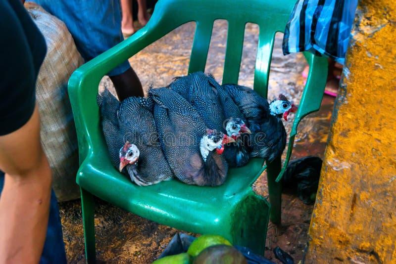Diverso meleagris doméstico de Guineafowl ou de Numida na cadeira plástica imagens de stock royalty free