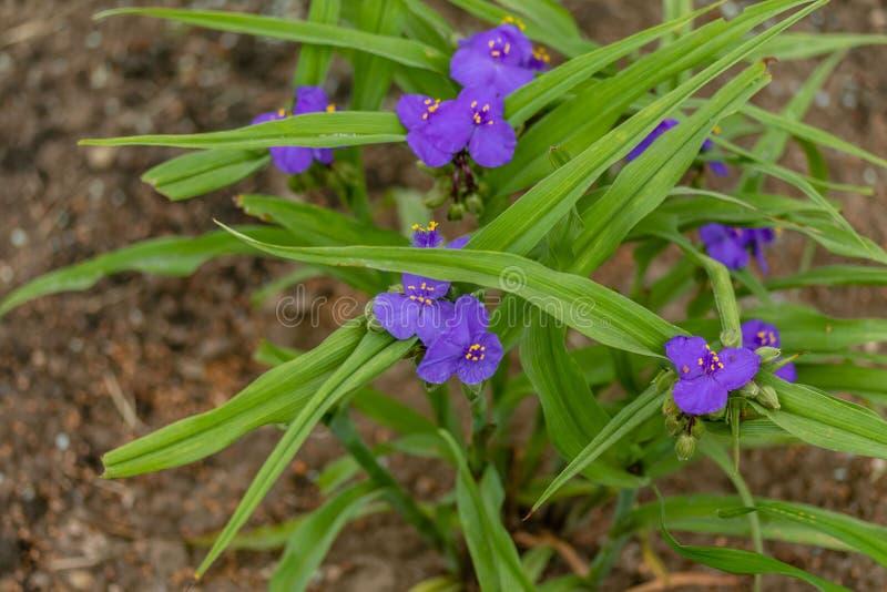 Diverso o ` violeta s da viúva rasga flores na luz do amanhecer fotografia de stock royalty free