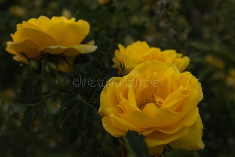 Diversos botões de uma rosa amarela brilhante no close-up verde das hastes na noite fotografia de stock royalty free