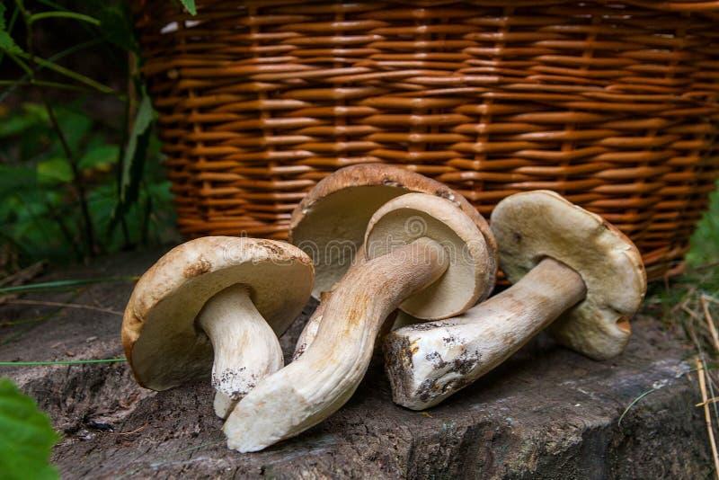 Diversos cepa-de-bordéus dos cogumelos do porcini, cepa-de-bordéus, bolo da moeda de um centavo, bolete do porcino ou do rei e ce fotos de stock
