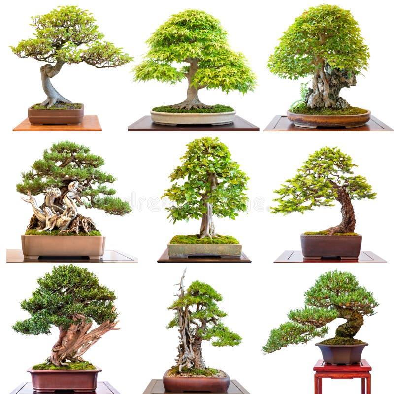 Diversos coníferas y árboles de hojas caducas de los árboles de los bonsais en blanco imágenes de archivo libres de regalías