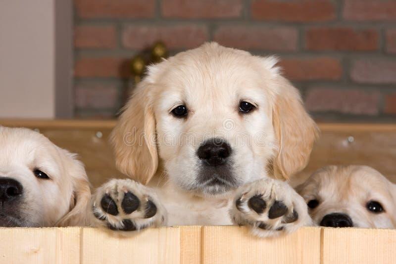 Diversos filhotes de cachorro do retriever dourado imagens de stock