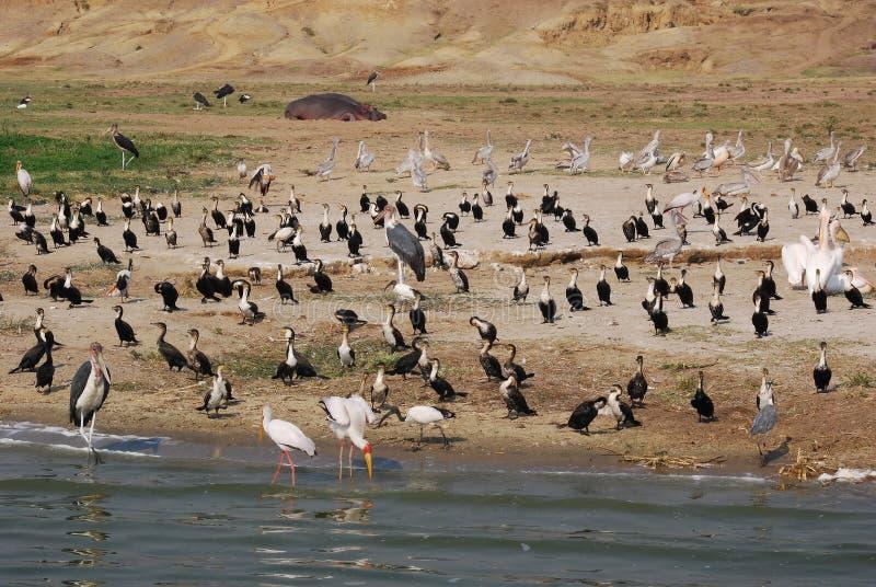 Diversos waterbirds africanos Uganda foto de stock royalty free
