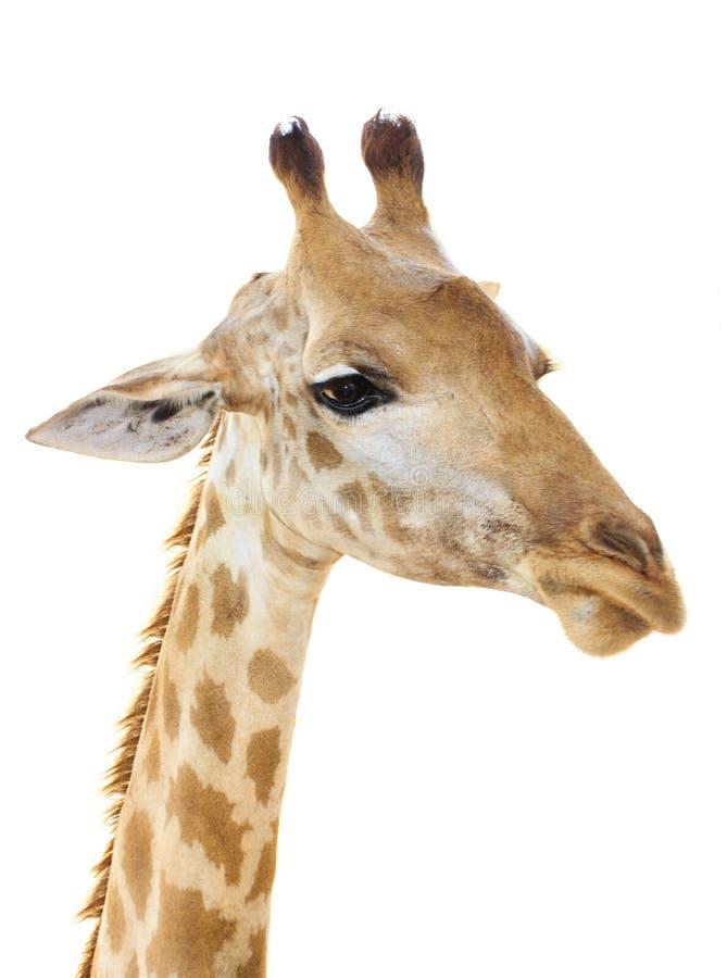 Sembrare capo del fronte della giraffa divertente immagini stock libere da diritti
