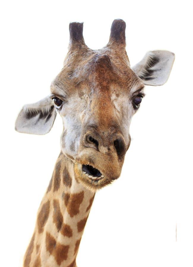 Sembrare capo del fronte della giraffa divertente immagine stock