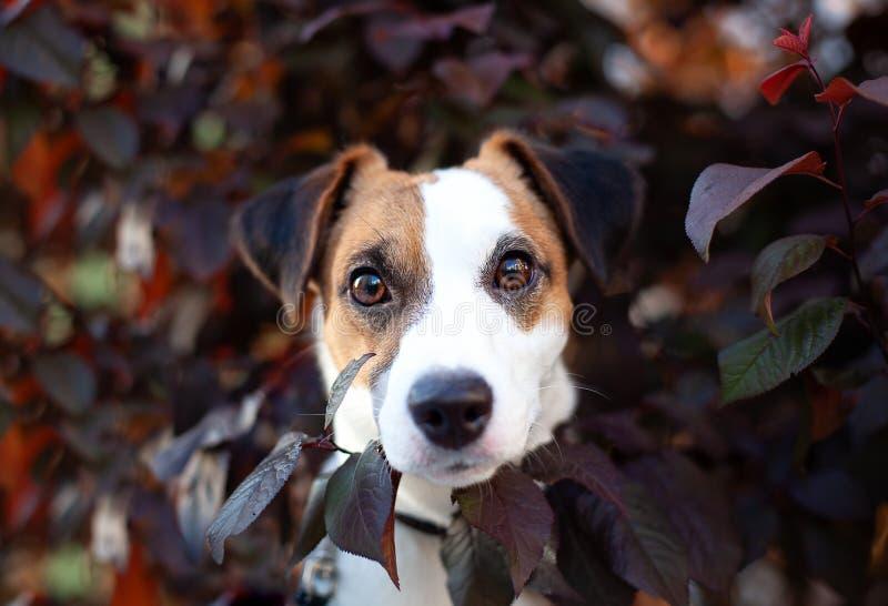 Divertimento e cane di razza attivo Jack Russell Terrier In il fogliame un giorno di estate soleggiato Ritratto di un cane felice immagine stock