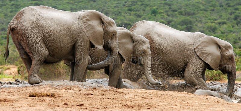 Divertimento e giochi degli elefanti nel posto di innaffiatura immagini stock libere da diritti