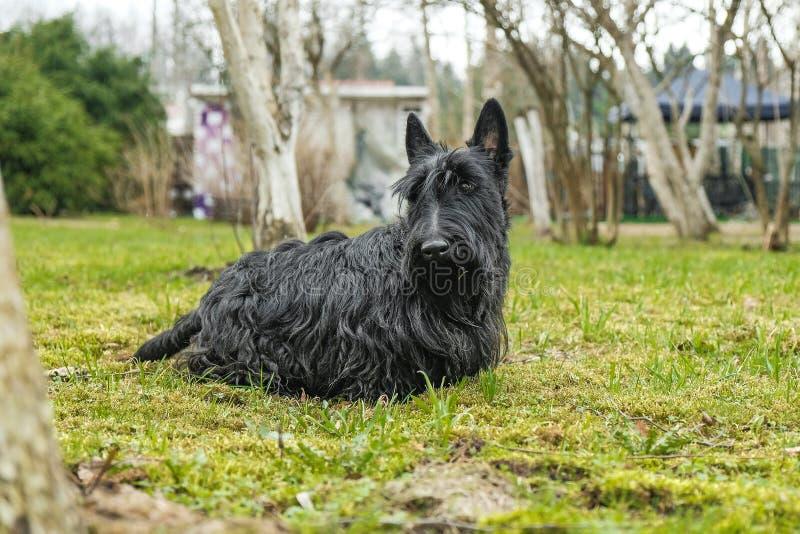 Divertimento Terrier scozzese nero che salta nell'erba immagine stock