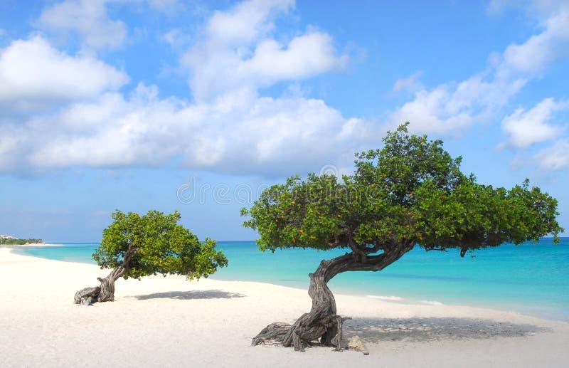 Divi Divi Bäume auf Adler setzen in Aruba auf den Strand stockbild