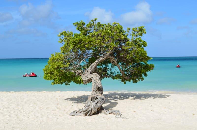 Divi Divi Tree in Aruba stock afbeelding