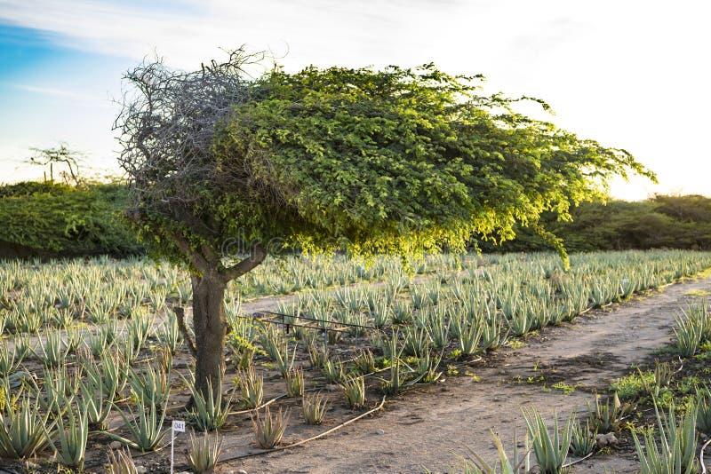 Divi divi tree - Libidibia coriaria - aloe plantation, Aruba. Aloe Vera plantation and Libidibia coriaria - native and impressive shape of divi-divi tree in stock photo
