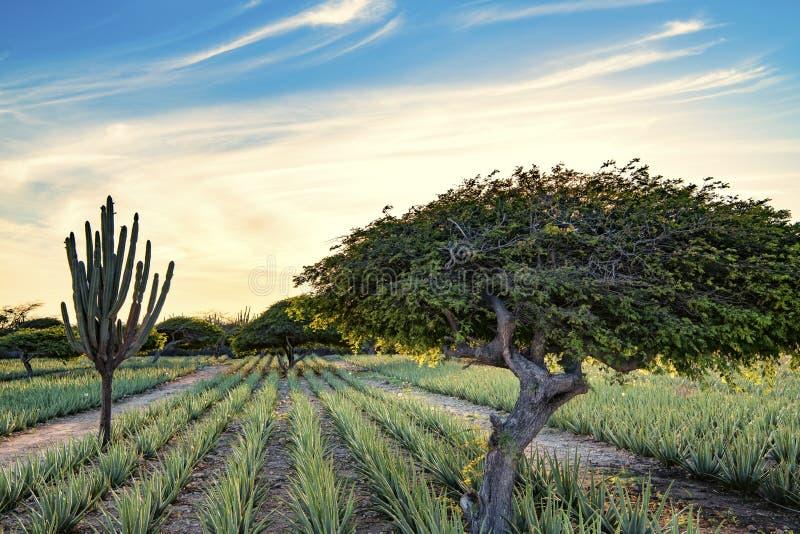 Divi divi tree - Libidibia coriaria - and aloe plantation Aruba. Aloe Vera plantation and Libidibia coriaria - native and impressive shape of divi-divi tree in stock photography